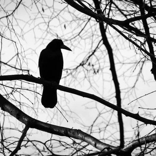 bird-tree-black-and-white-sadness-nature-beak-fly-animal-branch