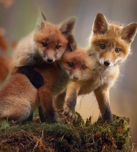 fox, cubs, cute